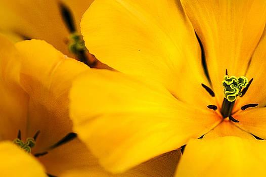 Jenny Rainbow - Open Hearts. Yellow Tulips