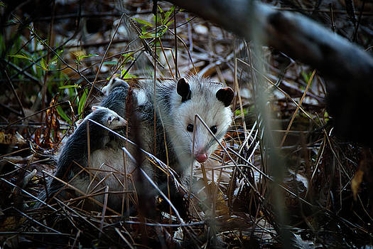 Opossums Riding Mother by Bob Orsillo