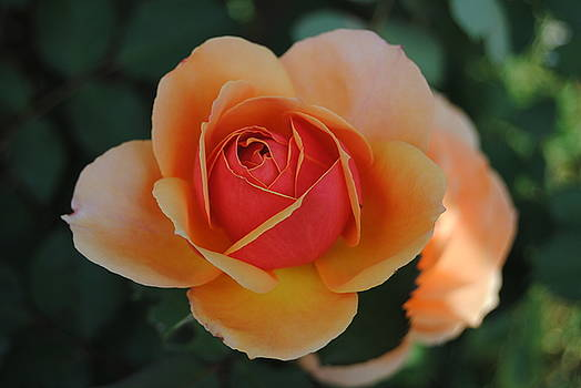 Orange And Red Rose by Christopher Rohleder