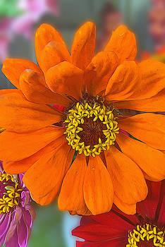 Cindy Boyd - Orange and Yellow Zinnia