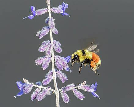 Orange-belted Bumblebee in flight by Lois Lake