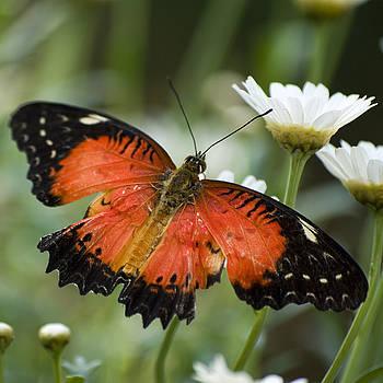 Orange Butterfly on a Daisy by Pixie Copley