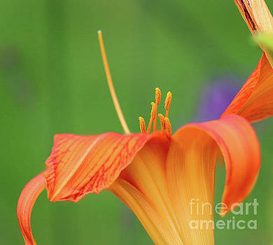 Orange Daylily Macro by Karen Adams