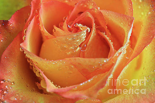 Orange Drop Rose by Tracy Hall