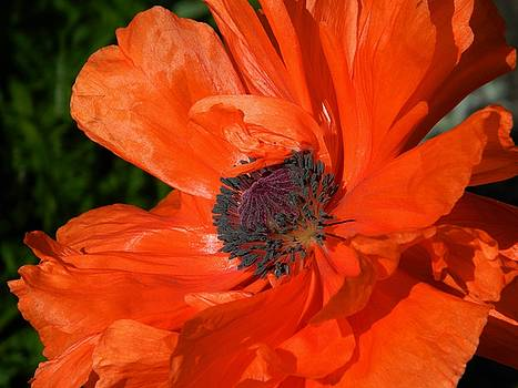 Orange Explosion by Terri Waselchuk