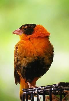 Orange Finch by Vijay Sharon Govender