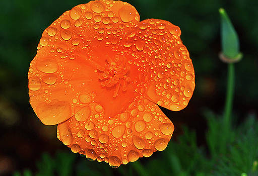 Orange Flower With Water Drops 003 by George Bostian