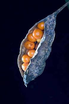Orange fruit by Edo Loi