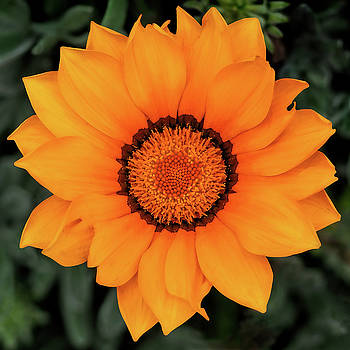 Golden Gazania by Susie Peek