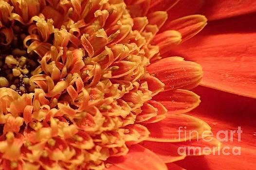 Orange Gerber Daisy by Carol McGunagle