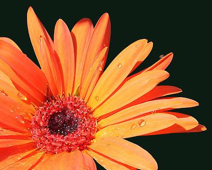 Cathy  Beharriell - Orange Gerbera on Black Right Side
