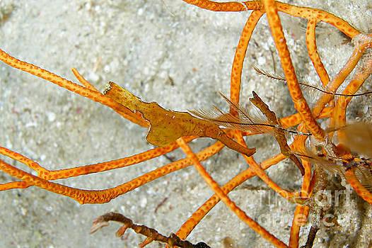 Orange Ghost Pipefishes by Joerg Lingnau