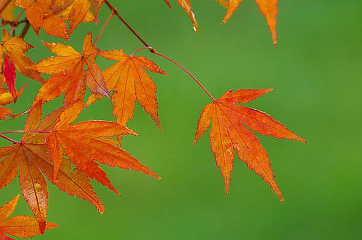 Orange Glory Maple by Marilyn Peterson