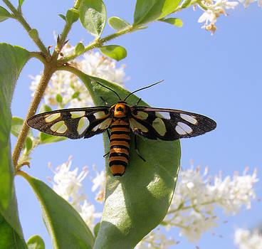 Orange Headed Wasp Moth by Kathy Daxon