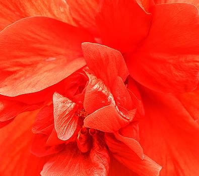 Orange Hibiscus by Cathy Donohoue