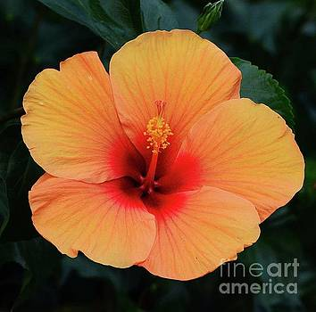 Orange Hibiscus by Cindy Manero