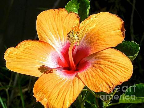 Orange Hibiscus I by Rincon Road Photography By Ben Petersen