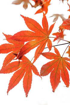 Jenny Rainbow -  Orange Leaves of Japanese Maple