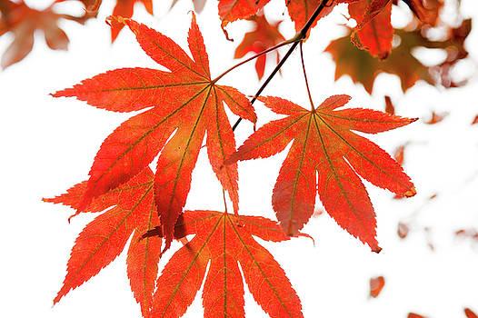Jenny Rainbow - Orange Leaves of Japanese Maple Tree