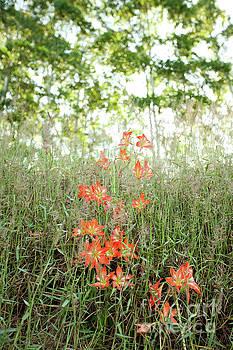 Charmian Vistaunet - Orange Lilies along Hamakua Coast