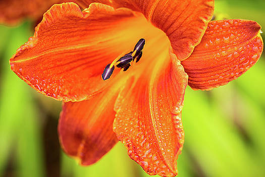 Orange Lilly of the Morning by Ken Stanback