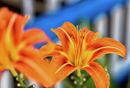Tiger Lily by John Hoey