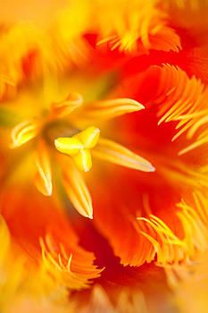 Jenny Rainbow - Orange Passion. Tulip Macro