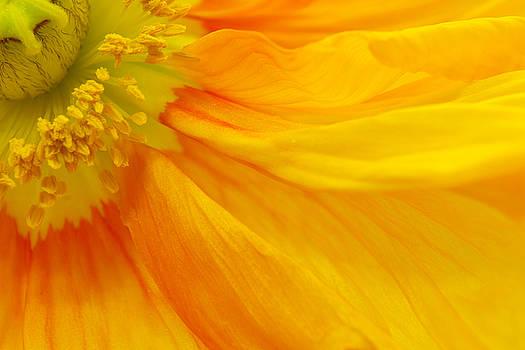 Angela Doelling AD DESIGN Photo and PhotoArt - Orange Poppy II