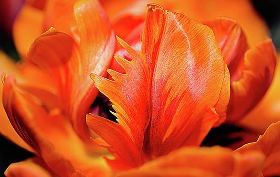 Julie Palencia - Orange Princess Tulip Natures Abstract