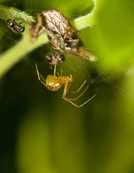 Orange spider by Jouko Mikkola