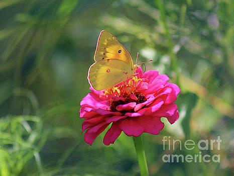Orange Sulphur Butterfly in Summer by Karen Adams