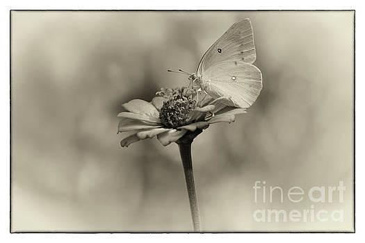Orange Sulphur Butterfly Memory by Karen Adams