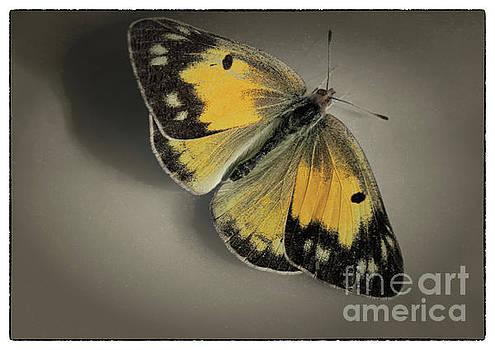 Orange Sulphur Butterfly on Brown with Border by Karen Adams
