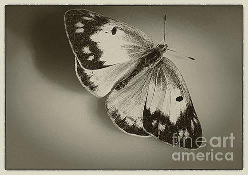 Orange Sulphur Butterfly Sepia by Karen Adams