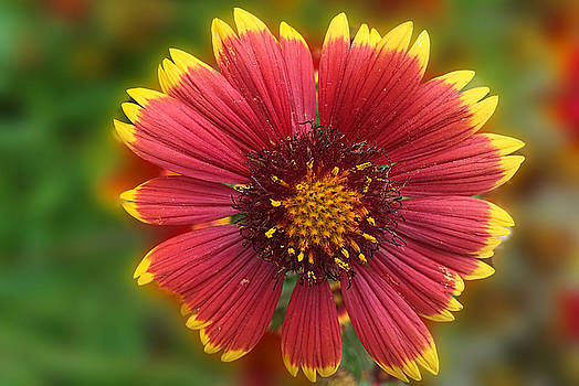 Cindy Boyd - Orange Sunburst Flower Close Up