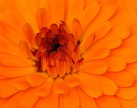 Orange Symphony by Marilyn Peterson