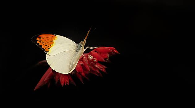 Orange Tip by John Fotheringham