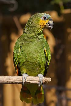 Adam Romanowicz - Orange-winged Amazon Parrot