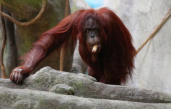 Orangutan Smoking A Cuban Cigar  by Jerome Lynch