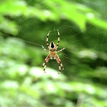 Orb Weaver by Azthet Photography