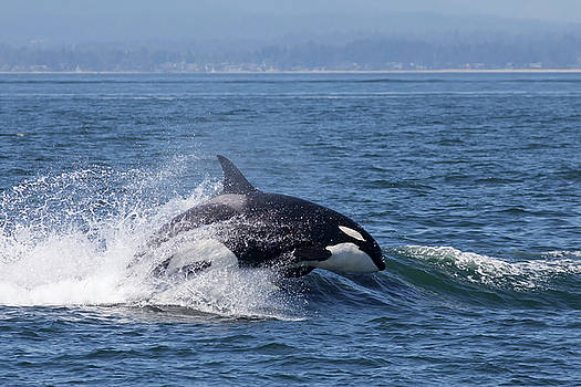 Orca in the Surf by Bob Stevens
