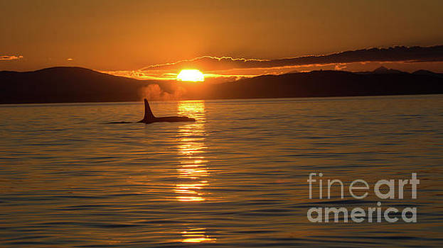 Orca Sunset by John Greco