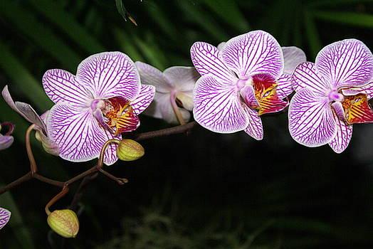 Marty Koch - Orchid 2