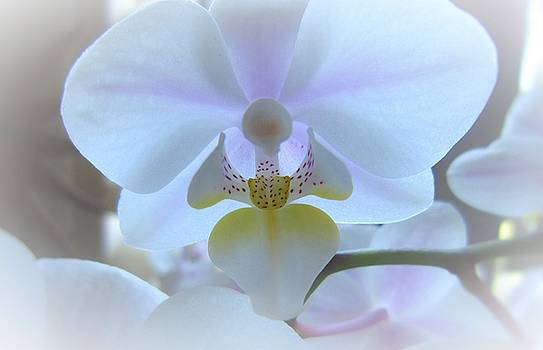 Orchid 2 - Angel by Nelson and Cheryl Strong