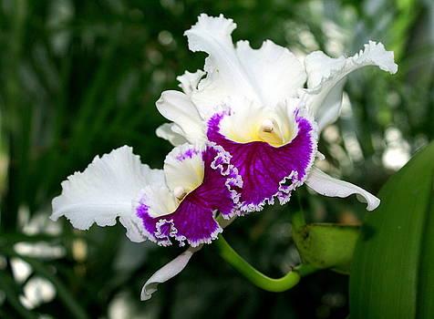 Marty Koch - Orchid 6