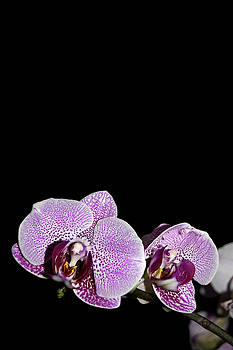 Orchid Blooms by Amber Flowers