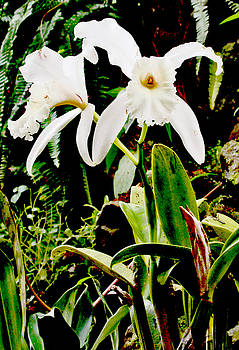 Orchid in White by Pamela Kelly Phillips