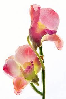 Orchid Morphing II by Leda Robertson