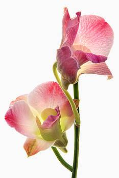Orchid Study I by Leda Robertson