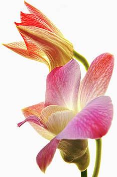 Orchid Study II by Leda Robertson
